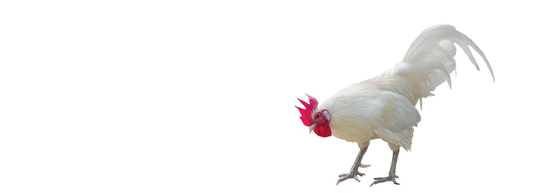 Des poules en bonne santé grâce à votre spécialiste de Villeneuve-lès-Maguelone